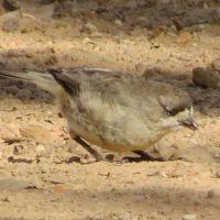 Small Birds: Whiteface, Thornbill