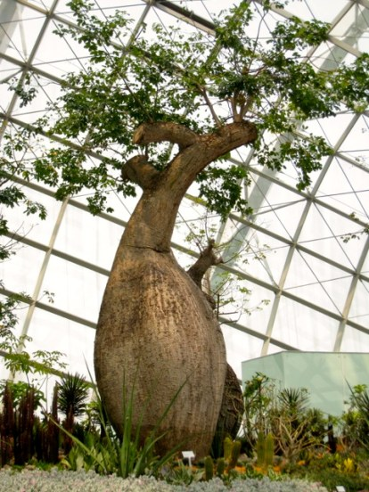 fully grown baobab trees are reshooting after pruning and replanting