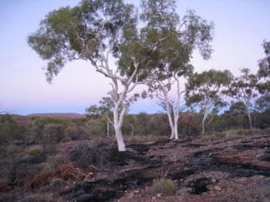 ghost gums at dawn