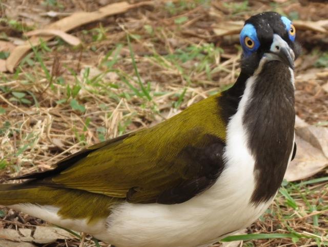 friendly blue-faced honeyeater, Nitmiluk