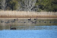 Black Swans and American Coots