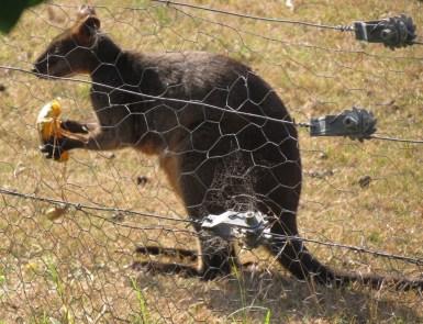Black Swamp wallaby eating pumpkin