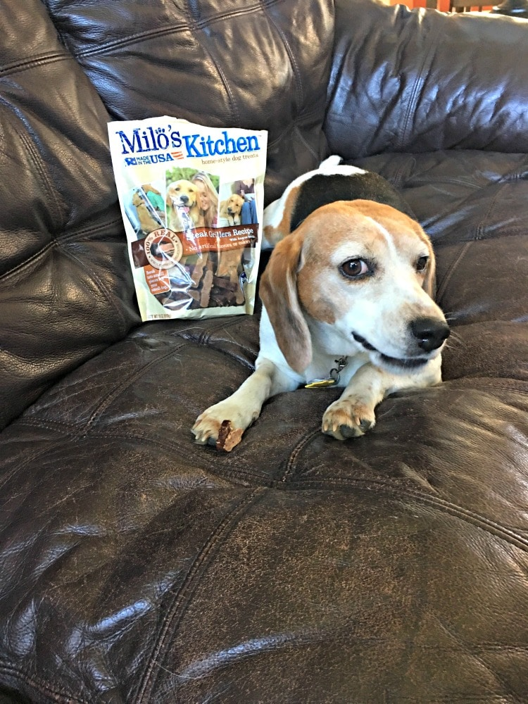 Is it possible to teach two Old Dogs New Tricks? I think it is especially when you tempt one of them with a great treat like Milo's Kitchen home-style dog treats from @Meijer. www.dadwhats4dinner.com #miloskitchen #ad #happydog #beagles #pmedia