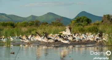 Chamo Lake, Pelicans