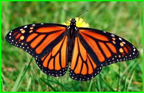 tahapan metamorfosis kupu-kupu adalah, metamorfosis kupu kupu cantik, contoh gambar metamorfosis kupu kupu, metamorfosis kupu kupu dan fakta menarik, eksplanasi metamorfosis kupu kupu, teks eksplanasi metamorfosis kupu kupu, fase metamorfosis kupu kupu, foto metamorfosis kupu kupu, daur hidup kupu kupu dan penjelasannya, daur hidup kupu kupu meliputi, siklus hidup kupu kupu adalah, jenis daur hidup kupu-kupu adalah