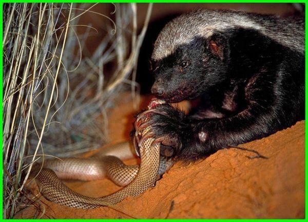 hewan yang suka makan ular, hewan yg makan ular, hewan ular makan manusia, hewan pemakan ular, hewan pemakan ular berbisa, hewan pemakan ular sejenis musang, hewan apa yang memakan ular, hewan yang memakan ular, hewan sejenis musang yang memakan ular tts