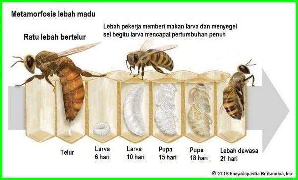 siklus hidup lebah madu, daur hidup lebah madu, metamorfosis lebah madu, metamorfosis lebah termasuk, metamorfosis lebah dimulai ketika ratu lebah, metamorfosis lebah dan penjelasannya, fase terakhir dalam metamorfosis lebah adalah, metamorfosis+lebah, metamorfosis lebah beserta gambarnya, bagaimana metamorfosis lebah, cara metamorfosis lebah, gambar metamorfosis lebah, metamorfosis lebah dan keterangannya, fase metamorfosis lebah, tahapan metamorfosis lebah, gambar metamorfosis lebah dan penjelasannya