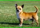 jenis anjing yang cocok untuk anak kecil, jenis anjing kecil yang mudah dipelihara, nama dan jenis anjing kecil, jenis jenis anjing kecil peliharaan, jenis anjing hias kecil, jenis anjing hias mini, nama jenis anjing kecil, jenis jenis anjing kecil