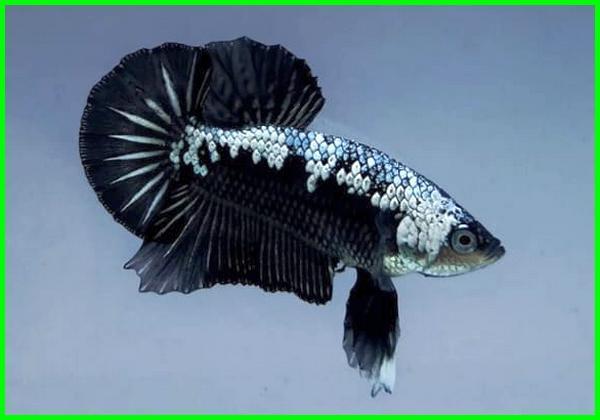 Nama Jenis Ikan Cupang Plakat Beserta Gambar Dan Harganya Daftarhewan Com
