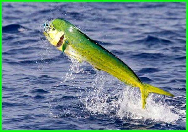 ikan yang dilarang dimakan, gambar ikan yang tidak boleh dimakan, ikan yang beracun jika dimakan, jenis ikan yang tidak boleh dimakan, 6 jenis ikan yang sebaiknya tidak dimakan, ikan yang tidak boleh dimakan penderita kolesterol, ikan yang tidak boleh dimakan dalam pantang, ikan yang tidak bisa dimakan, ikan yang dilarang dimakan ibu hamil