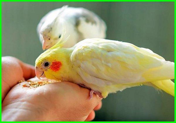 jenis burung falk australia, jenis burung falk yang bagus, jenis burung falk termahal, jenis burung falk paling mahal, jenis jenis burung falk, macam jenis burung falk, macam macam burung falk, jenis dan warna burung falk, jenis warna dan harga burung falk, harga dan jenis burung falk, jenis2 burung falk, foto jenis burung falk, gambar jenis burung falk, jenis burung falk yang mahal, jenis burung falk