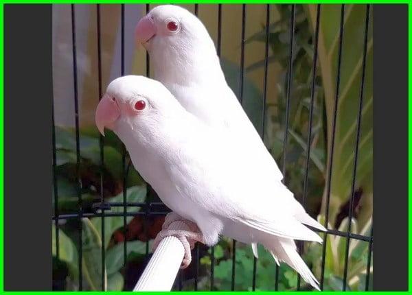 warna lovebird yang mahal, warna lovebird yg mahal, warna burung lovebird mahal, warna lovebird paling mahal 2020, lovebird yang mahal warna apa, lovebird paling mahal warna apa, lovebird mahal berdasarkan warna, warna paling mahal burung lovebird, warna burung lovebird yang mahal, warna burung lovebird yg mahal