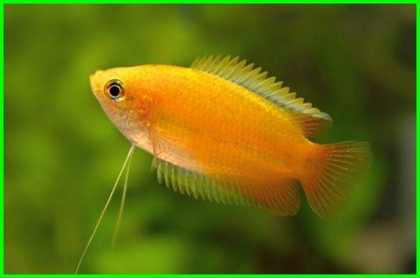 ikan hias kecil bagus, ikan hias kecil cantik, ikan hias kecil yang cantik, ikan hias air tawar kecil cantik, harga ikan hias kecil yang cantik, ikan hias kecil dan namanya, ikan hias kecil dan harganya, ikan hias kecil damai, ikan hias kecil yang damai