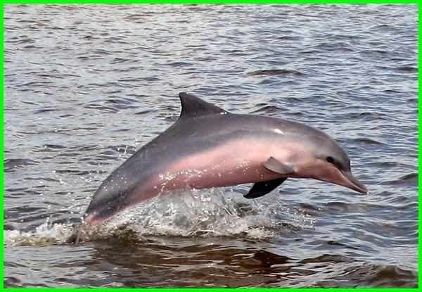 lumba-lumba air tawar adalah, ciri ciri lumba lumba air tawar, lumba lumba di air tawar, lumba-lumba air tawar, jenis lumba lumba air tawar, jenis ikan lumba lumba air tawar, nama lain lumba lumba air tawar, lumba-lumba air tawar sungai