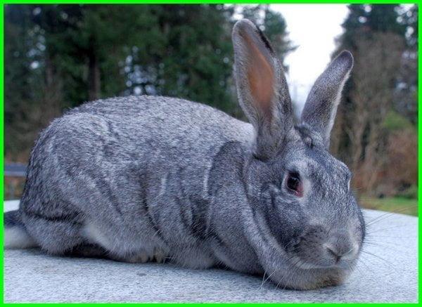 jenis kelinci pedaging yang cepat besar, jenis kelinci pedaging unggul, jenis kelinci pedaging terbaik, jenis kelinci pedaging besar, jenis kelinci buat pedaging, jenis jenis kelinci pedaging beserta gambarnya, jenis kelinci pedaging yang bagus