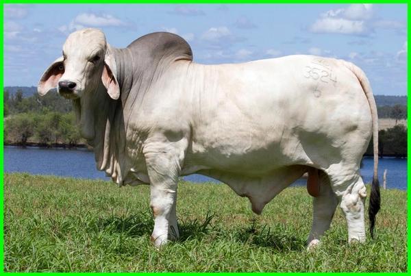 jenis sapi potong di indonesia, jenis sapi potong indonesia, jenis sapi potong unggulan di indonesia, jenis sapi potong yang paling menguntungkan, jenis sapi potong terbesar di dunia, jenis sapi potong unggulan, jenis sapi potong australia
