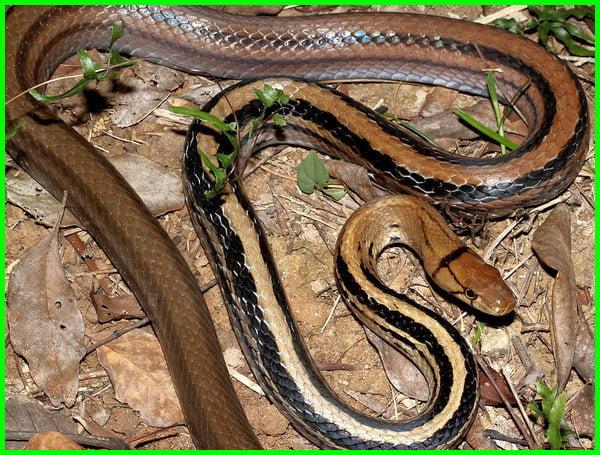 jenis ular sawah tidak berbisa, jenis ular sawah yg tidak berbisa, jenis ular yang ada di sawah, jenis ular yg ada di sawah, jenis jenis ular sawah, jenis2 ular sawah, ciri ular sawah, jenis ular yang hidup di sawah, jenis jenis ular di sawah