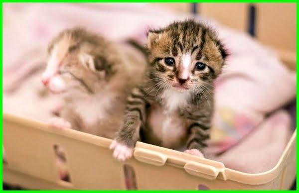 perawatan bayi kucing tanpa induk, memelihara bayi kucing tanpa induk, cara merawat bayi kucing tanpa induk, cara merawat kucing tanpa induk, cara memelihara kucing tanpa induk, cara mengurus kucing tanpa induk, cara membesarkan kucing tanpa induk, cara merawat anak kucing tanpa induk, cara menenangkan bayi kucing tanpa induk, cara merawat anak kucing tanpa ada induknya, cara merawat anak kucing dan induknya, makanan kucing kecil tanpa induk, merawat kucing kecil tanpa induk, anak kucing kampung tanpa induk, cara merawat anak kucing tanpa induk nya