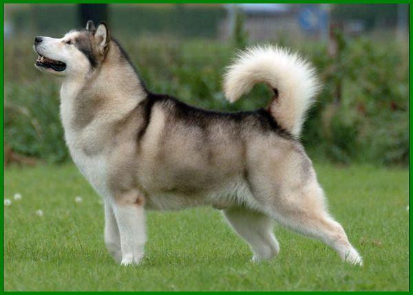 anjing alaskan malamute, anjing alaskan malamut, anjing alaskan adalah, ciri ciri anjing alaskan malamute, cari anjing alaskan malamute, perbedaan anjing alaska dan husky, foto anjing alaskan malamut, foto anjing alaskan malamute