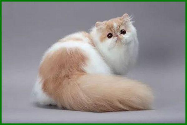 jenis kucing anggora hidung pesek, jenis jenis kucing hidung pesek, jenis kucing pesek, ras kucing hidung pesek, kucing hidung pesek, jenis kucing berhidung pesek, kucing hidung pesek namanya
