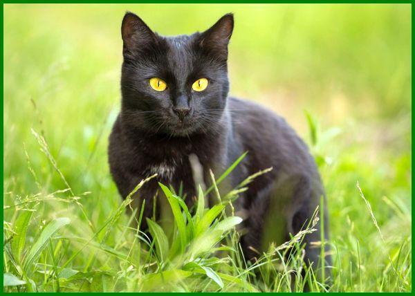 macam macam kucing hitam, jenis kucing warna hitam, jenis kucing bulu hitam, jenis kucing berwarna hitam, jenis jenis kucing hitam, kucing hitam pekat, ras kucing hitam, jenis kucing kuping hitam, jenis kucing muka hitam, macam macam kucing warna hitam