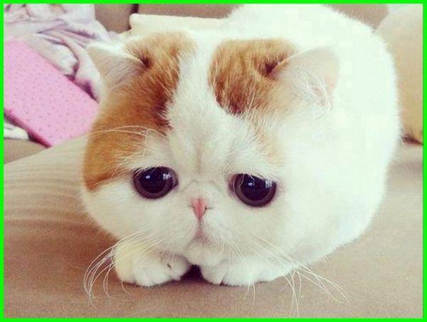 apa itu kucing flatnose, apa bedanya kucing flatnose dan peaknose, anak kucing flatnose, kucing flatnose adalah, ciri kucing flatnose, ciri ciri kucing flatnose, ciri2 kucing flatnose