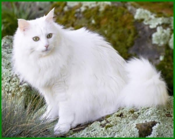 150 Ide Nama Untuk Kucing Anggora Yang Bagus Daftarhewan Com