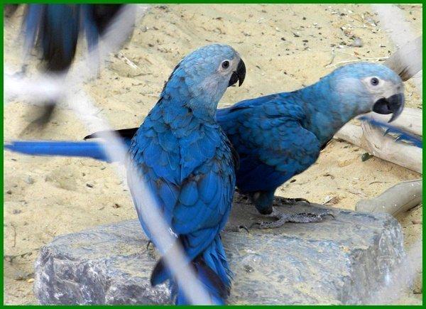 fakta unik burung macaw, keistimewaan burung macaw, burung macaw jinak, burung macaw langka, kenapa burung macaw mahal, artikel tentang burung macaw, macaw burung, burung makau burung macaw, burung macaw ff, komunitas burung macaw, beli burung macaw