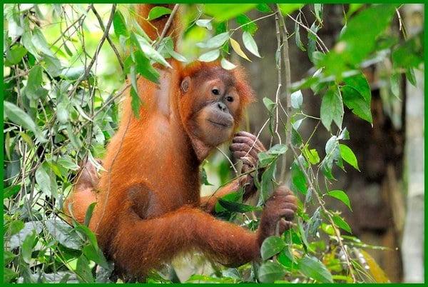 hewan endemik sumatera, hewan dilindungi sumatera, hewan endemik sumatera utara, hewan endemik sumatera barat, hewan endemik sumatera selatan, gambar hewan sumatera, hewan di hutan sumatera, daftar hewan sumatera, hewan endemik pulau sumatera