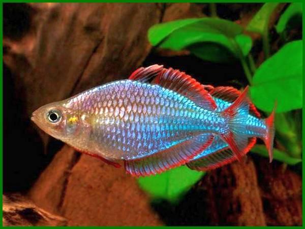 berikut ini adalah ikan hias endemik indonesia yaitu, ikan hias endemik indonesia adalah, berikut ini yang merupakan ikan hias endemik indonesia adalah, salah satu ikan hias endemik di indonesia adalah, berikut yang merupakan ikan hias endemik di wilayah indonesia adalah