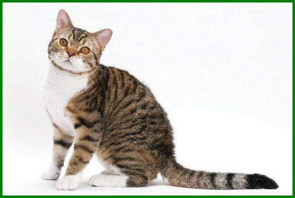 jenis jenis kucing mahal, jenis kucing mahal di dunia, macam macam kucing mahal, jenis kucing mahal di indonesia, berapa jenis kucing, ras kucing mahal, nama jenis kucing mahal