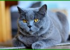 foto kucing warna abu abu, foto kucing persia abu abu, kucing british abu abu, gambar kucing abu abu, kucing abu abu jenis apa, nama kucing abu abu jantan, jenis kucing abu abu putih, nama jenis kucing abu abu, karakter kucing abu abu, kucing abu abu mata kuning,kucing abu abu nama, nama kucing abu abu yg bagus, jenis kucing abu abu, ras kucing berwarna abu abu, kucing abu abu shorthair