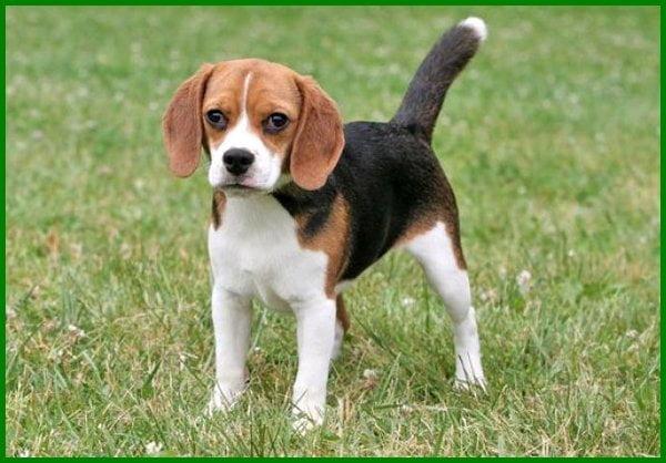 anjing peliharaan yang baik, jenis anjing peliharaan yg baik, anjing yang baik, anjing peliharaan di rumah, anjing peliharaan yang bagus