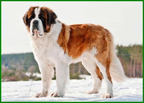jenis anjing paling setia, jenis anjing paling setia di dunia, jenis anjing yang setia pada pemiliknya, jenis anjing yang paling setia dengan tuannya, jenis anjing pintar dan setia, anjing yang setia, anjing yg setia