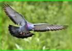apa fungsi dari ekor burung, apa fungsi dari ekor burung merpati, apa fungsinya ekor burung, fungsi ekor burung elang ekor burung berfungsi untuk, fungsi ekor burung hantu, fungsi ekor burung merak, fungsi ekor burung merpati adalah brainly, apa fungsi ekor pada burung merpati, fungsi ekor burung pinguin, apa fungsi ekor bagi seekor burung, fungsi ekor burung untuk, ekor burung berfungsi sebagai