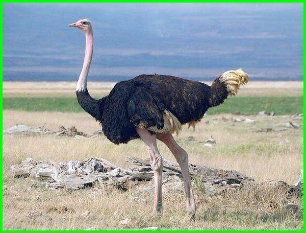 burung besar tidak bisa terbang, burung besar yang tidak bisa terbang, contoh burung yang tidak bisa terbang, contoh jenis burung yang tidak bisa terbang, burung yang tidak bisa terbang untuk dipelihara, foto burung yang tidak bisa terbang, gambar burung yang tidak bisa terbang