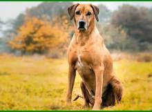 jenis anjing pemburu babi, anjing jenis babi, jenis anjing yang bagus untuk berburu babi, jenis anjing berburu babi hutan, jenis anjing pemburu babi hutan, jenis anjing kampung pemburu babi, jenis anjing pemburu babi terbaik, jenis anjing untuk berburu babi hutan, jenis anjing yang bagus untuk berburu babi, jenis anjing yg bagus untuk berburu babi, jenis anjing untuk berburu, jenis anjing pemburu babi