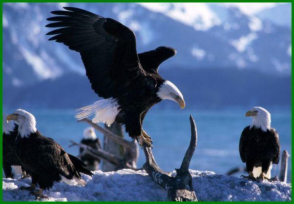 migrasi burung elang, burung migrasi pertanda apa, pengertian migrasi burung brainly, burung migrasi yg bagus, cara migrasi burung, contoh migrasi burung, musim migrasi burung, jelaskan proses migrasi burung elang, fungsi migrasi burung, gambar migrasi burung, migrasi hewan burung, burung migrasi apa itu, migrasi pada burung, migrasi pada burung elang, proses migrasi pada burung, migrasi-besar-para-burung