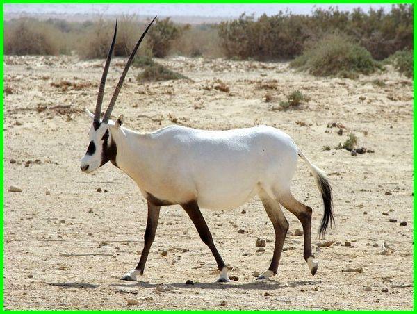 hewan gurun pasir, hewan gurun afrika, hewan gurun gobi, hewan yang hidup di gurun pasir, hewan yang hidup di gurun afrika, hewan yang hidup di gurun adalah, hewan yang beradaptasi di gurun adalah, hewan ekosistem gurun adalah, hewan yang beradaptasi dengan lingkungan gurun adalah, hewan yang menyesuaikan diri dengan lingkungan gurun adalah brainly, hewan yang dapat beradaptasi dengan lingkungan gurun adalah, hewan bioma gurun