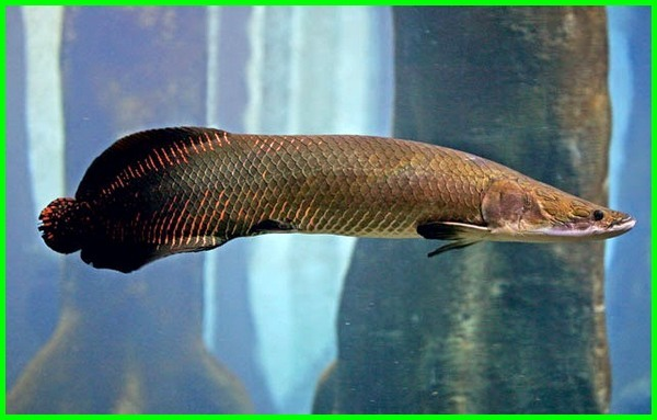 ikan arapaima adalah, ikan arapaima air tawar, apa itu arapaima, ikan arapaima bisa dimakan, ikan arapaima boleh dimakan, foto ikan arapaima, fakta ikan arapaima, foto ikan arapaima gigas, fakta tentang ikan arapaima, ikan arapaima gigas berasal dari mana, ikan arapaima gigas pirarucu, ikan hias arapaima, ikan arapaima wikipedia indonesia, jenis ikan arapaima