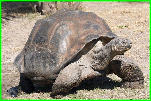 kura kura galapagos terbesar, kura kura galapagos terbesar di dunia, kura kura raksasa galapagos, gambar kura kura galapagos, umur kura kura galapagos, apakah kura kura galapagos sudah punah, kura kura galapagos terakhir, kura-kura galapagos