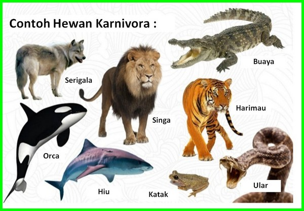 hewan karnivora contohnya, hewan karnivora adalah hewan yang makan, hewan karnivora beserta makanannya, hewan karnivora dan ciri cirinya, contoh hewan karnivora, hewan karnivora dan makanannya, hewan karnivora di sekitar kita, hewan karnivora dan contohnya, foto hewan karnivora, hewan golongan karnivora, hewan karnivora memiliki gigi, apakah hewan karnivora itu