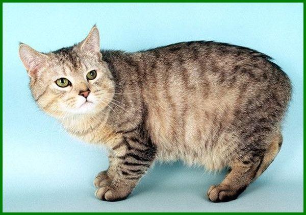 kucing jenis manx, kucing ras manx, jenis kucing manx, kucing manx harga, ciri ciri kucing manx, anak kucing manx, bayi kucing manx, ciri kucing manx