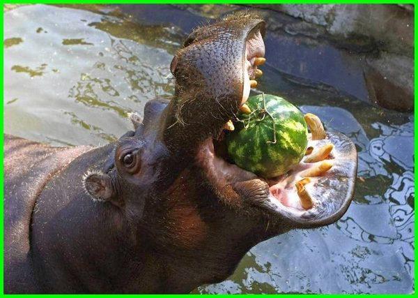 makanan kuda nil adalah, makanan favorit kuda nil, makanan dari kuda nil, contoh makanan kuda nil, makanan kuda nil di alam liar, makanan alami kuda nil, apa makanan dari kuda nil, makanan yang bagus buat kuda nil, apa yang dimakan kuda nil, jenis makanan kuda nil, kuda nil makan apa, kuda nil pemakan, macam macam makanan kuda nil, makanan utama kuda nil