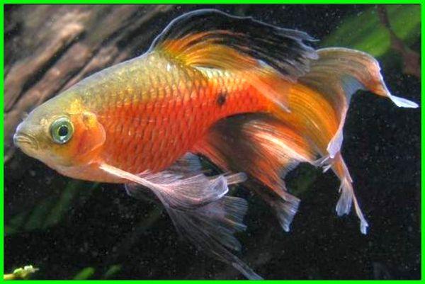 teman ikan mas koki, teman ikan mas koki di aquarium, teman ikan koki di aquarium, teman ikan mas koki dalam aquarium, ikan yang cocok dengan ikan mas koki, ikan yang bisa disatukan dengan ikan mas koki