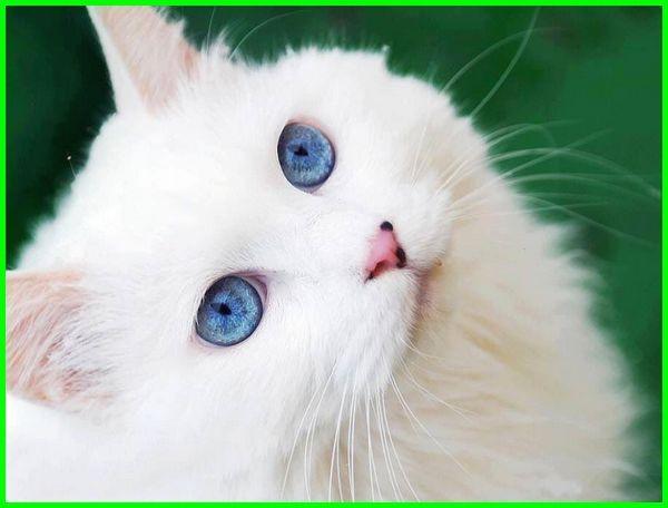 ras kucing mata biru, jenis kucing yang bermata biru, jenis jenis kucing mata biru