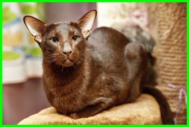 kucing havana brown, kucing havana coklat, harga kucing havana, harga kucing havana brown, jual kucing havana