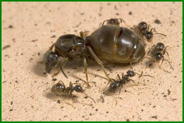cara berkembang biak semut hitam, semut berkembang biak dengan cara brainly, semut berkembang biak dengan cara apa, bagaimana cara semut berkembang biak, gambar cara berkembang biak semut, semut berkembang biak dengan cara, bagaimana semut berkembang biak, semut berkembang biak, cara berkembang biak hewan semut, cara berkembang biak semut, cara perkembangbiakan semut