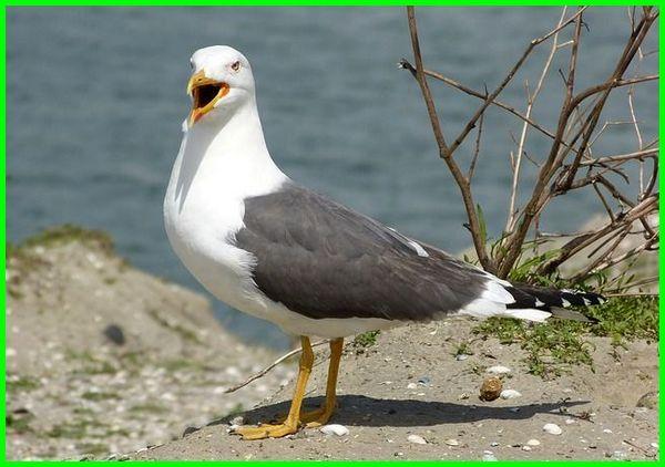 burung camar bahasa inggris, burung camar in english, burung camar inggris