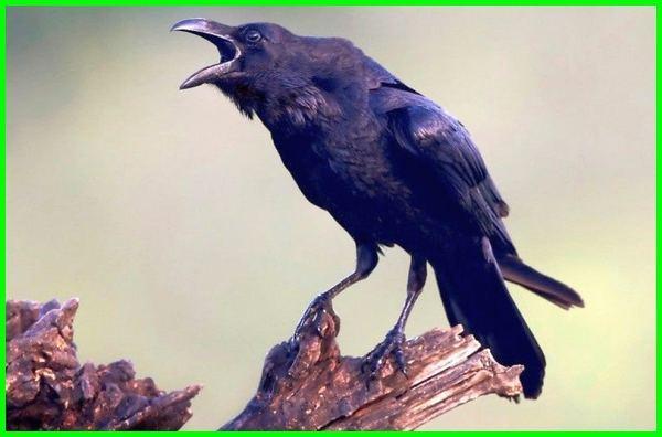 burung gagak bahasa inggris, burung gagak bahasa inggrisnya, b inggris burung gagak, b inggris nya burung gagak, burung gagak b inggrisnya, burung gagak dalam bahasa inggris, burung gagak english, suara burung gagak gacor, burung gagak inggris, burung gagak in english
